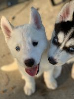 Siberian Husky Puppies for sale in Ladson, SC, USA. price: NA