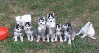 Siberian Husky Puppies for sale in Walton, KS, USA. price: NA