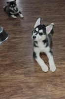 Siberian Husky Puppies for sale in Houston, TX, USA. price: NA
