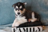 Siberian Husky Puppies for sale in New York, NY, USA. price: NA