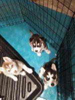 Siberian Husky Puppies for sale in Penn Run, PA 15765, USA. price: NA