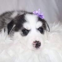 Siberian Husky Puppies for sale in Nassau County, NY, USA. price: NA