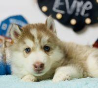 Siberian Husky Puppies for sale in Hesperia, CA 92345, USA. price: NA