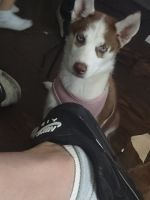 Siberian Husky Puppies for sale in Cleveland, OH, USA. price: NA