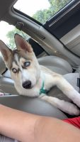Siberian Husky Puppies for sale in Baltimore, MD, USA. price: NA