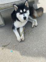 Siberian Husky Puppies for sale in Williamstown, Monroe, NJ 08094, USA. price: NA