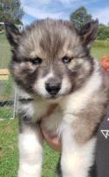 Siberian Husky Puppies for sale in Johnson City, TN 37604, USA. price: NA