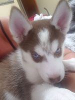Siberian Husky Puppies for sale in Waco, TX, USA. price: NA