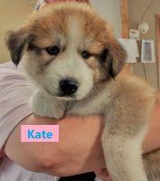 Siberian Husky Puppies for sale in Hesperia, MI 49421, USA. price: NA
