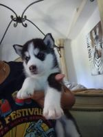 Siberian Husky Puppies for sale in Orlando, FL, USA. price: NA