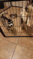 Siberian Husky Puppies for sale in Phoenix, AZ 85041, USA. price: NA