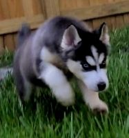 Siberian Husky Puppies for sale in Port St. Lucie-Fort Pierce, FL, FL, USA. price: NA