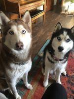 Siberian Husky Puppies for sale in Onalaska, WI 54650, USA. price: NA