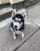 Siberian Husky Puppies for sale in Buffalo, NY, USA. price: NA