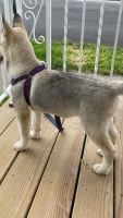 Siberian Husky Puppies for sale in Goshen, NY 10924, USA. price: NA