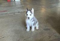 Siberian Husky Puppies for sale in Grand Rapids, MI, USA. price: NA