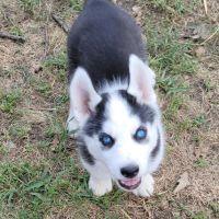Siberian Husky Puppies for sale in Beatrice, NE 68310, USA. price: NA