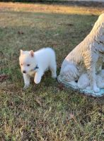 Siberian Husky Puppies for sale in Texas City, TX, USA. price: NA