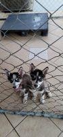 Siberian Husky Puppies for sale in Modesto, CA, USA. price: NA