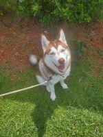 Siberian Husky Puppies for sale in Middleburg, FL 32068, USA. price: NA