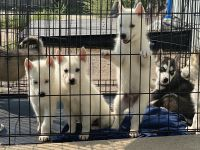 Siberian Husky Puppies for sale in Denver, CO 80204, USA. price: NA