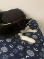 Siberian Husky Puppies for sale in 1019 SE 4th Terrace, Cape Coral, FL 33990, USA. price: NA