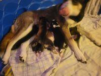 Siberian Husky Puppies for sale in Phoenix, AZ 85053, USA. price: NA
