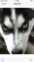 Siberian Husky Puppies for sale in NJ-41, Deptford Township, NJ, USA. price: NA