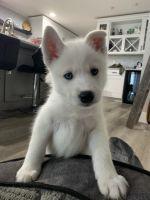 Siberian Husky Puppies for sale in Kalamazoo, MI 49006, USA. price: NA