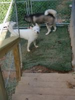 Siberian Husky Puppies for sale in Caryville, TN, USA. price: NA