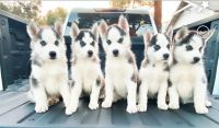 Siberian Husky Puppies for sale in Santa Ana, CA 92701, USA. price: NA