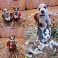 Siberian Husky Puppies for sale in Tacoma, WA, USA. price: NA