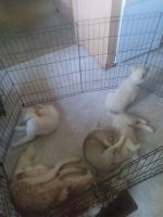 Siberian Husky Puppies for sale in Hardinsburg, IN 47125, USA. price: NA