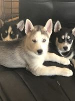 Siberian Husky Puppies for sale in North Royalton, OH 44133, USA. price: NA
