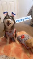 Siberian Husky Puppies for sale in Lakeland, FL, USA. price: NA