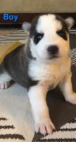 Siberian Husky Puppies for sale in Dalton, GA 30721, USA. price: NA