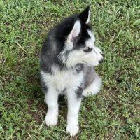 Siberian Husky Puppies for sale in La Palma, CA, USA. price: NA