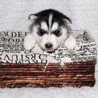 Siberian Husky Puppies for sale in San Antonio, TX, USA. price: NA