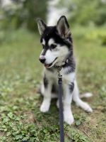Siberian Husky Puppies for sale in 6415 55th St N, Oakdale, MN 55128, USA. price: NA