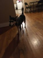 Siberian Husky Puppies for sale in Charlotte, NC, USA. price: NA