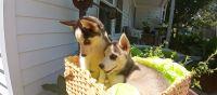 Siberian Husky Puppies for sale in Greensboro, NC, USA. price: NA