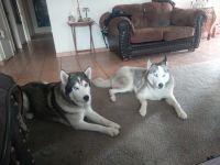 Siberian Husky Puppies for sale in Stockton, CA, USA. price: NA