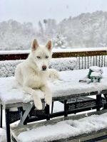 Siberian Husky Puppies for sale in Fredericksburg, VA 22401, USA. price: NA