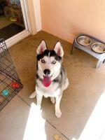 Siberian Husky Puppies for sale in Irvine, CA, USA. price: NA