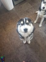 Siberian Husky Puppies for sale in Colorado Springs, CO 80915, USA. price: NA