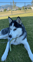 Siberian Husky Puppies for sale in Provo, UT 84606, USA. price: NA