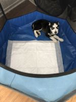 Siberian Husky Puppies for sale in Temecula, CA, USA. price: NA