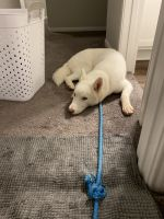 Siberian Husky Puppies for sale in 13751 Evansdale Ln, Houston, TX 77083, USA. price: NA