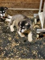 Siberian Husky Puppies for sale in Portland, OR, USA. price: NA