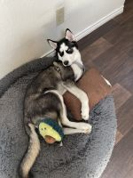 Siberian Husky Puppies for sale in Irving, TX, USA. price: NA
